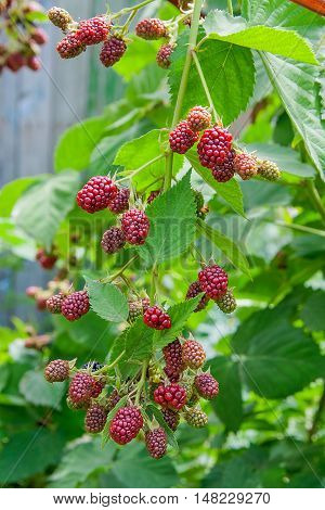 Close Up View Of A Bunch Of Blackberry. Ripening Of The Blackberries On The Blackberry Bush In Fores