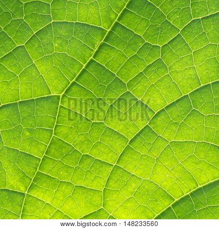 Green Cucumber Leaf Texture as Natural Background