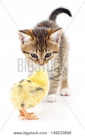 Grey kitten and chicken on white background.