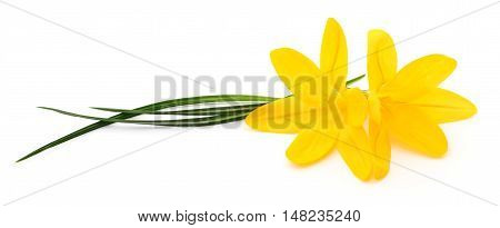 Two yellow flowers isolated on white background.
