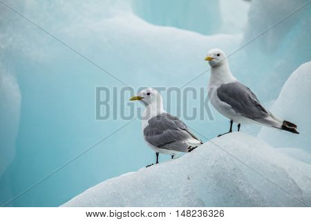The glaucous gull (Larus hyperboreus) is a large gull, the second largest gull in the world which breeds in the Arctic regions of the Northern Hemisphere and the Atlantic coasts of Europe.