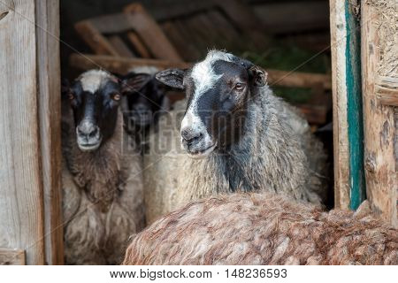 sheeps in the doorway of the barn. Herd of pet on farm.