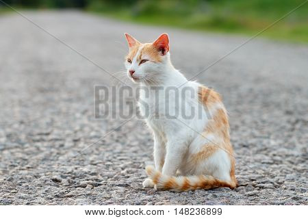 Homeless red cat resting on the warm asphalt road. Sunset
