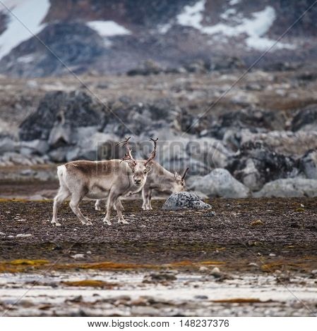 The Svalbard reindeer (Rangifer tarandus platyrhynchus) is a reindeer subspecies found on the Svalbard archipelago of Norway.