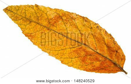 Yellow Fallen Leaf Of Ash Tree Isolated