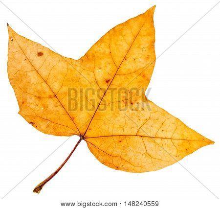 Yellow Autumn Three-lobed Leaf Of Maple Tree