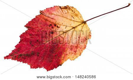Red And Yellow Autumn Leaf Of Ash-leaved Maple