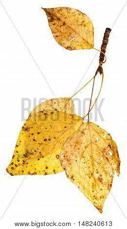 Twig With Yellow Autumn Leaves Of Poplar Tree