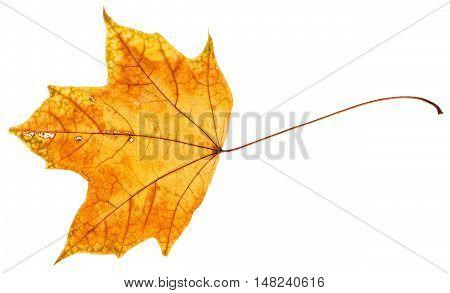 Yellow And Orange Autumn Leaf Of Maple Tree