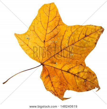 Yellow Dried Leaf Of Maple Tree Isolated