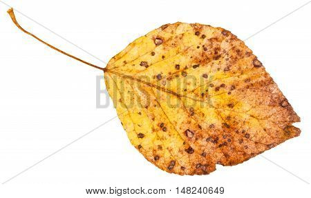 Yellow Dried Leaf Of Poplar Tree Isolated
