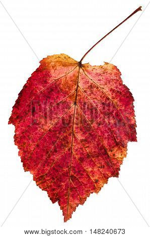 Red Autumn Leaf Of Ash-leaved Maple Tree