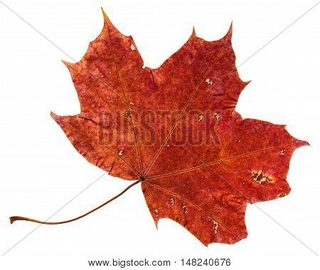 Red Brown Fallen Leaf Of Maple Tree Isolated