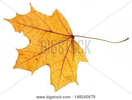 Yellow Autumn Leaf Of Maple Tree Isolated
