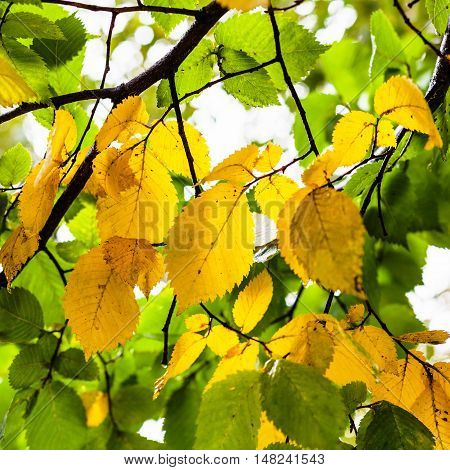 Green And Yellow Leaves Of Elm Tree In Autumn