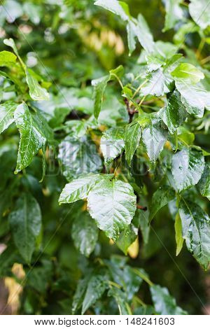 Raindrops On Green Leaves Of Ash Tree In Rainy Day