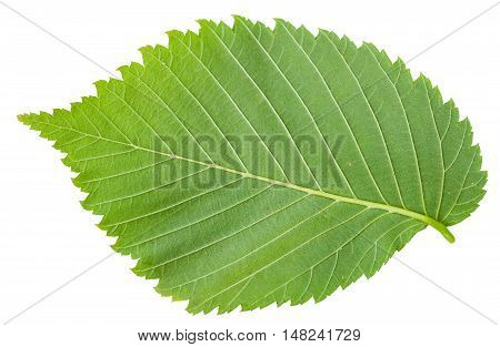 Back Side Of Fresh Leaf Of Elm Tree Isolated