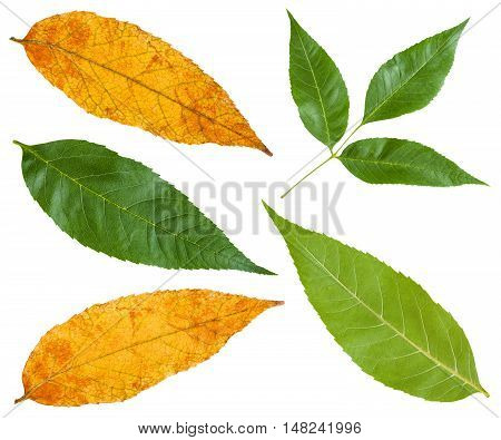 Green And Yellow Autumn Leaves Of Ash Tree