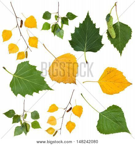 Green And Yellow Autumn Leaves Of Birch Tree