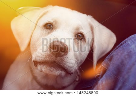 Cute young little labrador retriever dog puppy looks very sweet