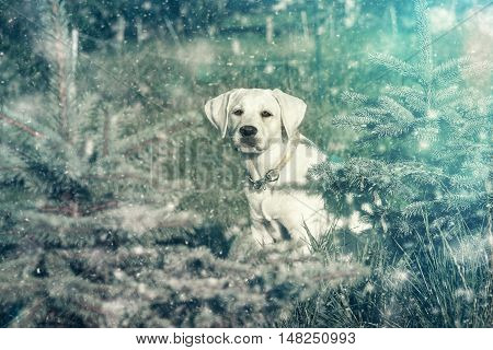 young white cute labrador dog puppy in the snow - winter christmas time