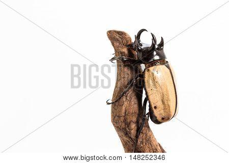 Five-horned Rhinoceros Beetle