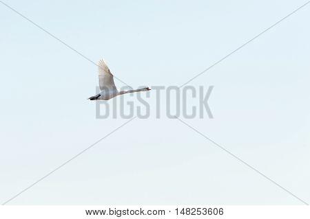 Mute swan side view in flight catch light