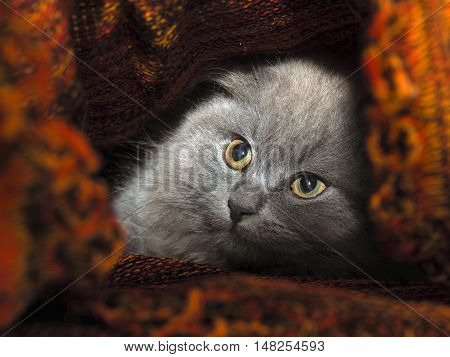 Cat hides under a knitted blanket. Cat gray fluffy