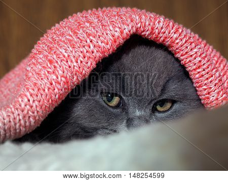 Cat hides under the bright pink plaid