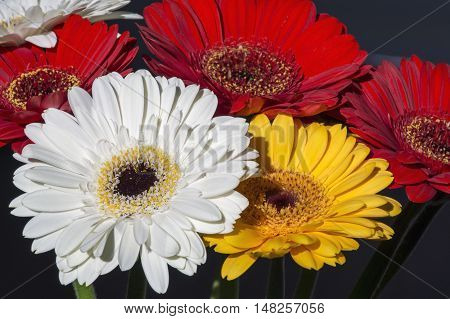 Several beautiful colourful gerberas as one bouquet