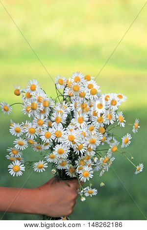 a bouquet of white wildflowers daisies gives a child's hand