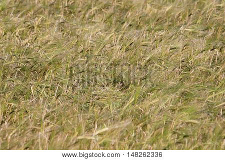 field with ears of wheat swaying in the wind