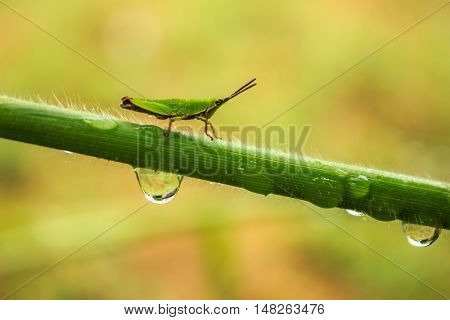 locust on branches with drop of water