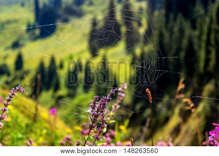 Cobweb mountain flowers. Red flowers in the mountains