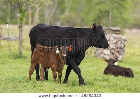 A Black Angus cow and calf in a pasture