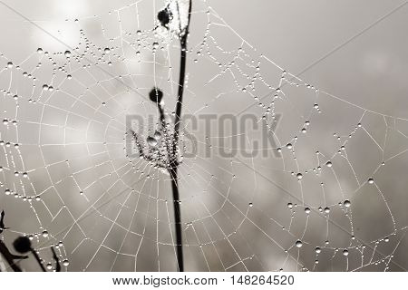 many drops of dew on a spider web