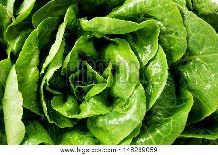 Fresh green lettuce salad leaves closeup. Vegetable salad lettuce.
