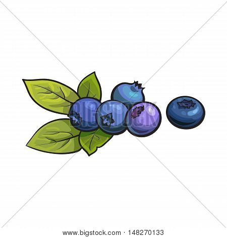 Ripe blueberry, realistic drawing vector illustration isolated on white background. Ripe blueberries and green leaves on white background, botanical illustration, design element