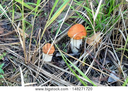 Two small edible orange-cap boletus growing together in the grass on a sunny autumn day front view horizontal