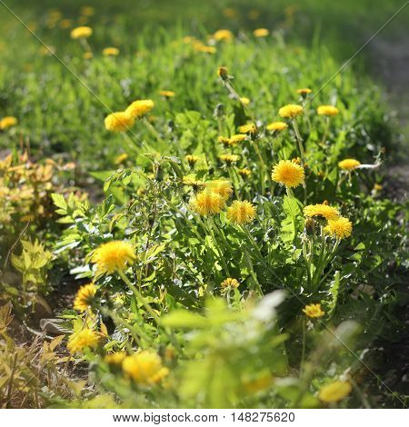 Beautiful blooming dandelions on a green grass. Shallow depth of field.