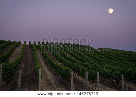 Full moon over a lush Napa vineyard at dusk. Rolling hills in Carneros, Napa Valley wine country. Rows of green grape vines in summer.
