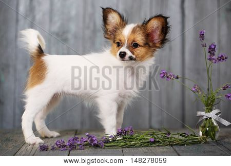 dog breeds papillon with lavender on a gray background