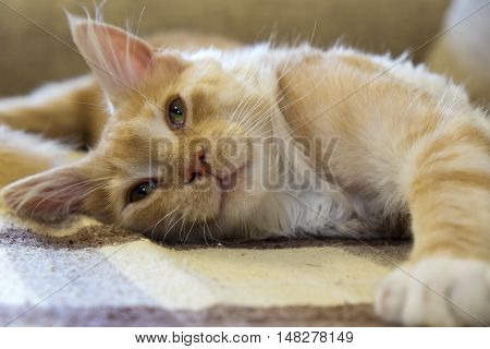 Cat of breed Maine coon resting on the sofa