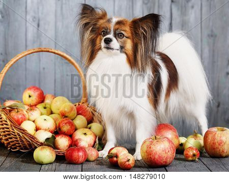 dog breed Papillon stands near the basket with apples