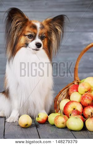 dog breed Papillon sitting near the basket with apples