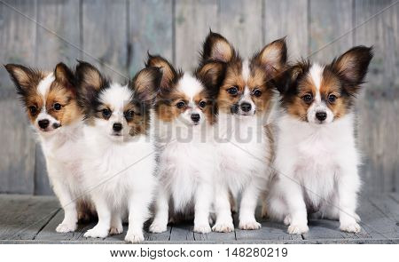 five little puppy breeds papillon on a gray background