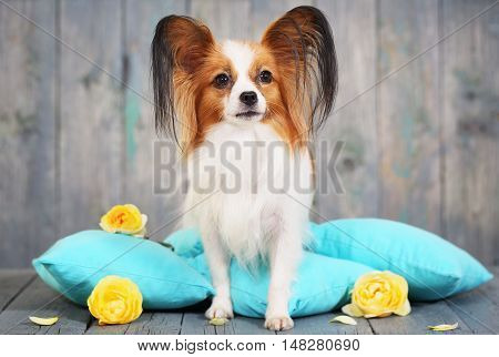 Beautiful dog Papillon breed lying on pillows