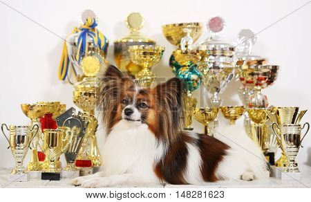 dog breed Papillon with a lot of cups from competitions