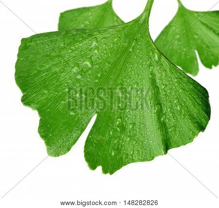 Ginkgo biloba leaf with dew drops isolated on white background