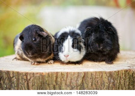 guinea pigs posing together outdoors in summer